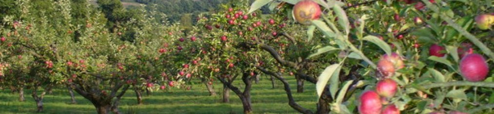 Soil pH in apple orchards is important for good nutrient value – basalt stabilizes pH